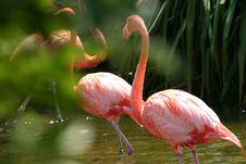 Free Flamingos Royalty Free Stock Photography - 200867