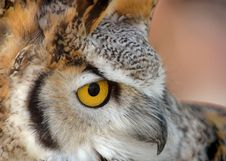 Free Great Horned Owl Close Up Stock Photography - 201212