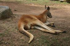 Free Red Kangaroo Royalty Free Stock Images - 201589