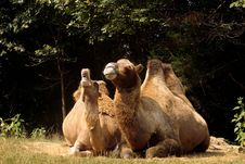 Free Camel Cry Royalty Free Stock Images - 203729
