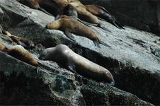 Steller S Sea Lion Stock Image