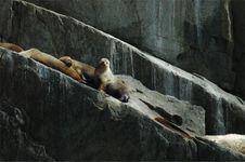 Steller S Sea Lion 1