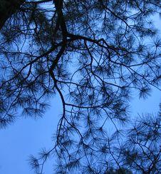 Free Saphire Sky Through Needles Stock Photography - 204582
