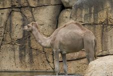 Free Camel Royalty Free Stock Photos - 204888
