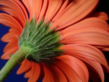 Free Closeup Of Gerber Daisy Stem Stock Photos - 205043