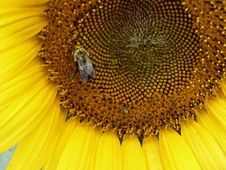 Free Sunflower And Bee 1 Royalty Free Stock Image - 205526
