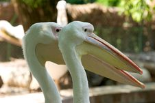 Free Pelican Heads Royalty Free Stock Image - 207306