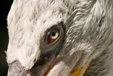 Pelican Eye Royalty Free Stock Photography