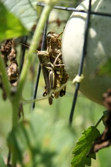 Free Grasshoppers Mating Royalty Free Stock Image - 207456