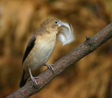 Free African Silverbill Stock Photo - 207610