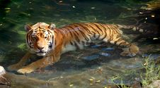 Free Siberian (Amur) Tiger In Pool Stock Images - 207954