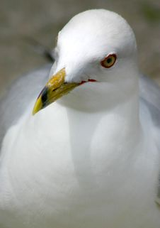Free Seagull Portrait Royalty Free Stock Photography - 208237