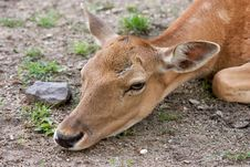 Free Deer Royalty Free Stock Image - 208496