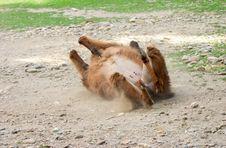 Free Llama Rolling Stock Photography - 208532