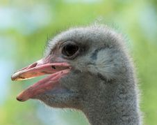 Free Ostrich Head Stock Image - 208561