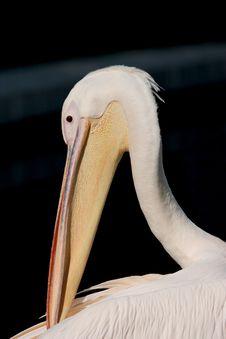 Free Pelican S Head Stock Photography - 208612