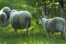 Free Running Sheep Royalty Free Stock Photo - 208805