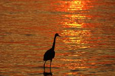 Reddish Egret At Sunset Royalty Free Stock Photography