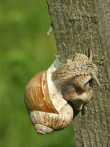 Free Snail Royalty Free Stock Image - 209766