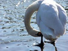 Free Swan Stock Photos - 209773