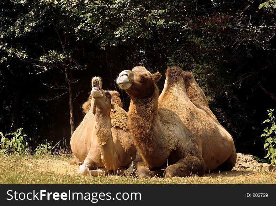 Camel Cry