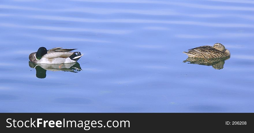 1- Couple of duck