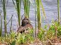 Free Mallard Duck Royalty Free Stock Image - 2000716