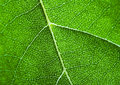 Free Closeup Leaf Royalty Free Stock Photo - 2006345