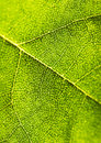 Free Closeup Leaf Royalty Free Stock Photography - 2006357