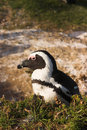 Free Jackass Penguin (Spheniscus Demersus) Royalty Free Stock Photography - 2009627