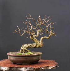 Free Honeysuckle Bonsai In Winter Stock Images - 2002134