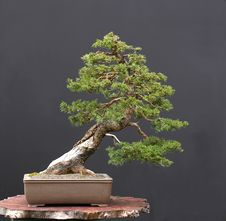 Free Spruce Bonsai Royalty Free Stock Photography - 2002177