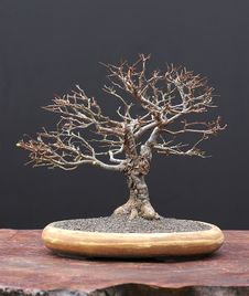 Free Elm Bonsai In Winter Stock Photo - 2002220