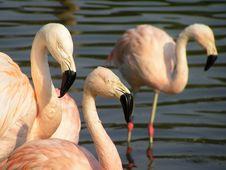 Free Flamingo Royalty Free Stock Photography - 2002827