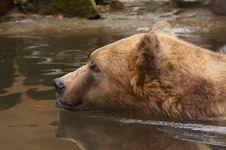 Free Bear Swimming Stock Photos - 2003203
