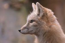 Free Beautiful Fox Royalty Free Stock Photos - 2003218
