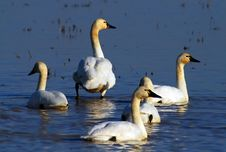 Free Swans In Blue Water Stock Images - 2004804