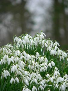 Free Spring Snowdrops Stock Image - 2005191