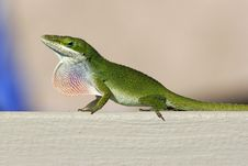 Free Bright Green Gecko Royalty Free Stock Photography - 2006527