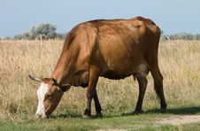 Free Grazing Cow Stock Photography - 2007312