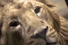 Free Lion Royalty Free Stock Images - 2008379