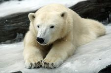Free Polar Bear Royalty Free Stock Photo - 2008425