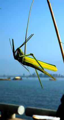 Free Grasshopper Royalty Free Stock Image - 2008526