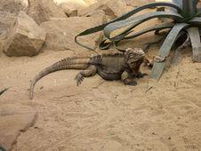 Free Iguana Royalty Free Stock Images - 2008809