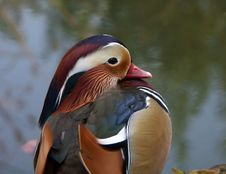Free Exotic Duck Royalty Free Stock Image - 2008836