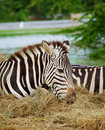 Free Two Zebras Stock Photos - 20006843
