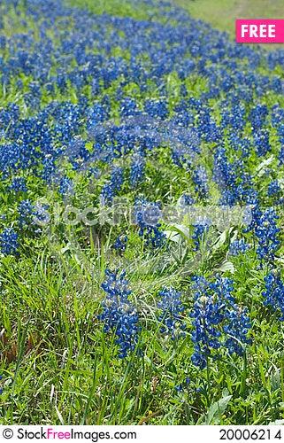 Bluebonnet field Stock Photo
