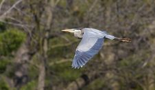 Free Great Blue Heron Stock Image - 20002041