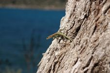 Free Lizard On The Tree Royalty Free Stock Image - 20002626