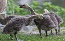 Free Canada Goose (Branta Canadensis) Stock Photography - 20003732
